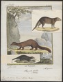 Herpestes galera - 1700-1880 - Print - Iconographia Zoologica - Special Collections University of Amsterdam - UBA01 IZ22400081.tif