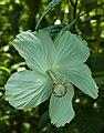 Hibiscus Dainty White (3).jpg