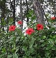 Hibiscus SDC12289.jpg