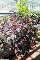 Hibiscus acetosella 2zz.jpg