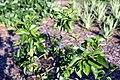 Hibiscus fragilis 3zz.jpg