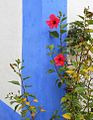 Hibiscus on Blue (5957045885).jpg