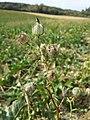 Hibiscus trionum sl73.jpg