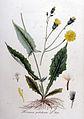 Hieracium paludosum — Flora Batava — Volume v9.jpg