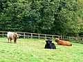 Highland cattle, Russley Park, near Marlborough - geograph.org.uk - 948867.jpg