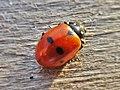 Hippodamia variegata (Coccinellidae) (Adonis' ladybird) - (imago), Lentse Waard, the Netherlands.jpg