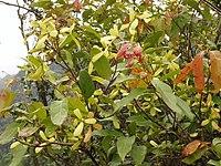 Hiptage benghalensis 猿尾藤 (天問)