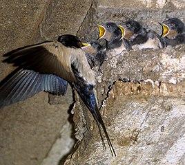 Lastovička kŕmi mláďatá