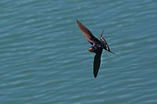 Hirundo rustica -flying -Chicago -USA-8.jpg