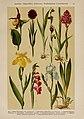 Hoffmann-Dennert botanischer Bilderatlas (Taf. 22) (6424992039).jpg