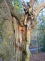 Hollow oak, Sandy Hill Copse - geograph.org.uk - 1202567.jpg