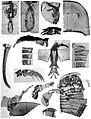 Holm Eurypterus Fischeri plate 5.jpg
