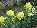 Holmskiodia sanguinea aurea-yercaud-salem-India.JPG