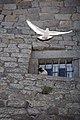 Holy pigeon (8695826550).jpg