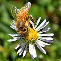 Honey Bee on Symphyotrichum dumosum (6435501395).jpg