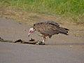 Hooded Vulture (Necrosyrtes monachus) (12884224884).jpg