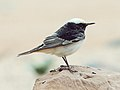 Hooded Wheatear.jpg