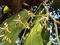 Hopea ponga flowers at Keezhpally (8).jpg