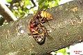 Hornet breakfasting... (15810751877).jpg