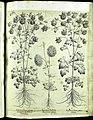 Hortus Eystettensis, Vorzeichnungen (MS 2370 2952663) -Aestiva,2,6.jpg