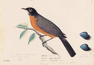 Houghton MS Am 21 (46) - John James Audubon, robin.jpg