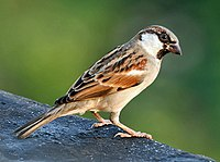 House Sparrow (M) I IMG 7881