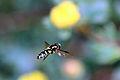 Hoverfly (Xanthogramma pedissequum).jpg