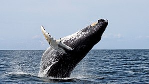 Cetacean surfacing behaviour - Humpback breaching in the Stellwagen Bank National Marine Sanctuary in Massachusetts Bay