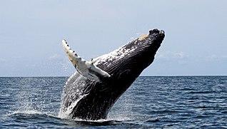 Baleia jubarte saltando