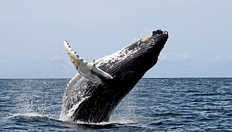 Humpback whale - Humpbacks frequently breach, throwing two-thirds or more of their bodies out of the water and splashing down on their backs.