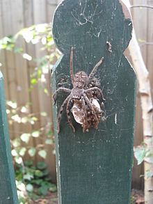external image 220px-Huntsman_Spider_egg_sac_hatching_23_Jan_11.JPG