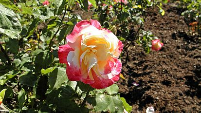 Hybrid Tea - Double Delight 14 (cr).JPG