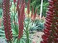 Hybrid aloe flowers, Roma Street Parklands, Brisbane, Australia - panoramio (2).jpg