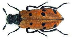 Hycleus duodecimpunctatus (Olivier, 1811).jpg