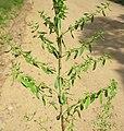 Hypericum perforatum branch5 (14446055767).jpg