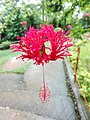 IMG hibiscusজবা ফুল123.jpg