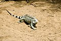 Iguana Iguana iguana (2446952911).jpg