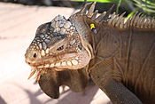 Iguana delicatissima at Batalie Beach a05.jpg