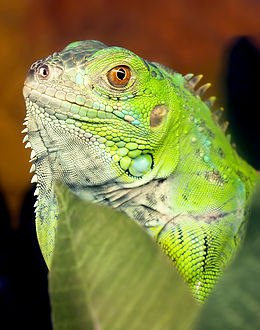 Iguana iguana 9 11 09.jpg