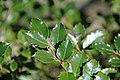 Ilex aquifolium (English holly) (Middletown, Ohio, USA) 2 (49113281658).jpg