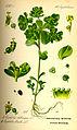 Illustration Euphorbia helioscopia0.jpg