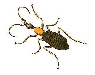 <i>Galerita</i> Genus of beetles