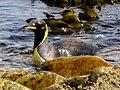In a duck like swim King Penguin Falkland Islands.jpg