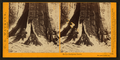 In the Mariposa Grove, Mariposa County, Cal, by Watkins, Carleton E., 1829-1916.png