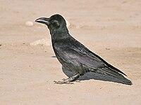 Indian Jungle Crow I3-Bharatpur IMG 8466.jpg
