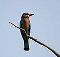 Indian Roller (Coracias benghalensis) in AP W IMG 8106.jpg