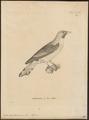 Indicator sparrmanni - 1700-1880 - Print - Iconographia Zoologica - Special Collections University of Amsterdam - UBA01 IZ18800289.tif