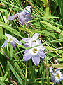 Ipheion uniflorum4.jpg