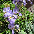 Iris germanica in Hertenduin lands 01.jpg