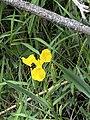 Iris pseudacorus 126956342.jpg